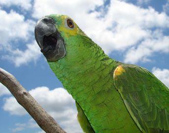 Papagaio do Repórter